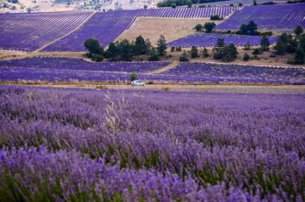 Brin de Reglisse Lavender_in_Provence WikiMedia