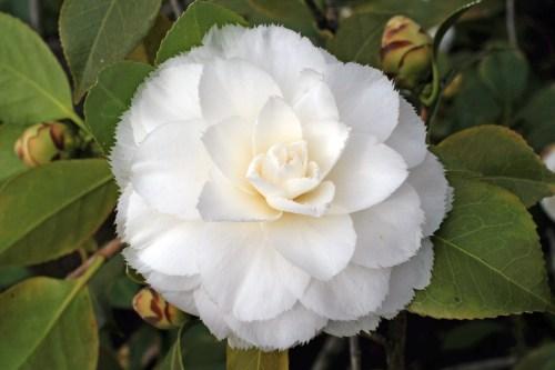 Une Fleur De Chanel  Camellia_japonica WikiCommons