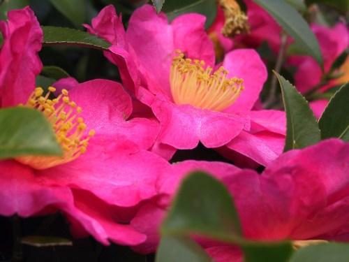 Une Fleur De Chanel Camellia_sasanqua Wikipedia