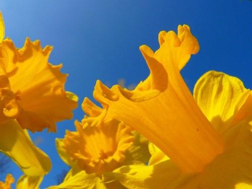 Fleur No 1 1000 Flowers narcissus LoggaWiggler Pixabay