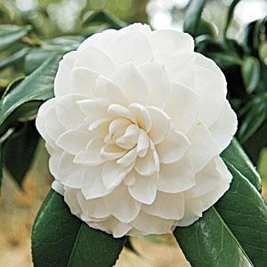 camellia-m