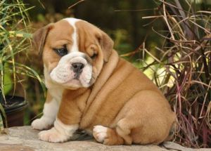 Bulldog-Inglês-1