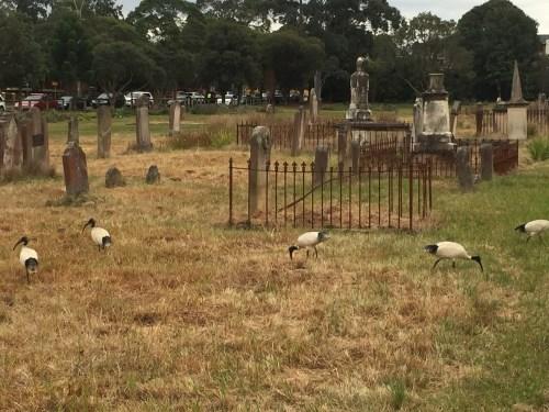 Sampaquita Ormonde Jayne Parramatta Cemetery 2015 #5