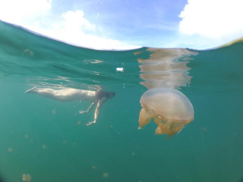 Kamu bisa berenang dengan ubur-ubur tidak menyengat di Danau Kakaban! @medinat4n