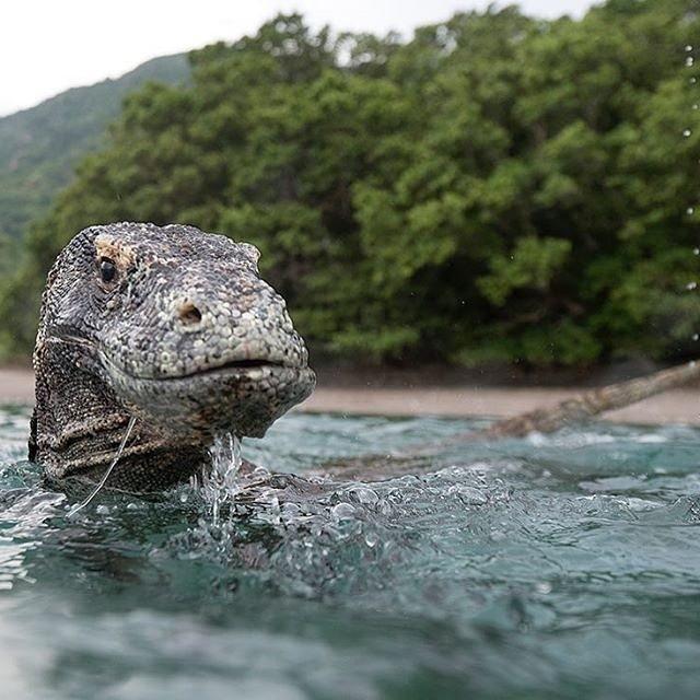 Berkunjung ke pulau ini anda bisa berkesempatan untuk bertemu dengan sang naga Komodo