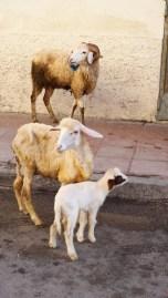 tanger sheep