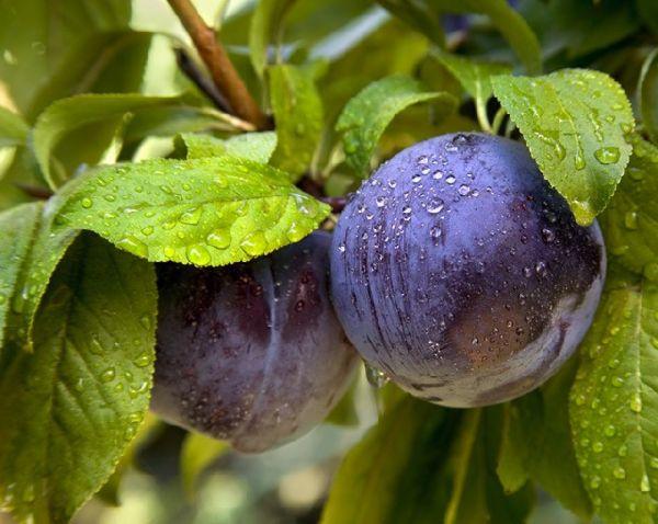 Perierga.gr - Τα πιο παράξενα φρούτα!
