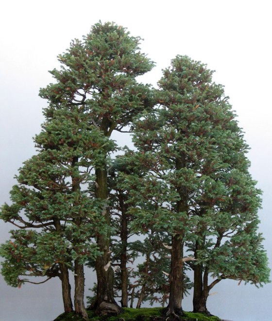 perierga.gr - Το ψηλότερο δέντρο του κόσμου σε έκδοση… μπονσάι!