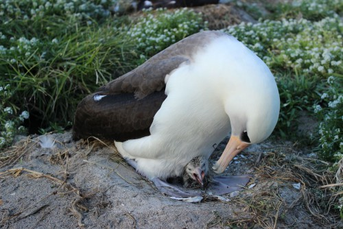 perierga.gr - Το μεγαλύτερο σε ηλικία πουλί του κόσμου είναι 64 ετών και γεννά ακόμα αυγά!