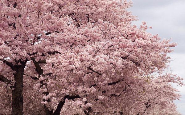 perierga.gr - Άνθισαν 3.000 κερασιές στην Ουάσινγκτον!