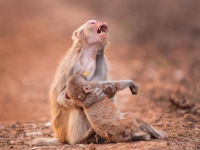 perierga.gr - Ο θρήνος μιας μαμάς μαϊμούς σε δάσος της Ινδίας