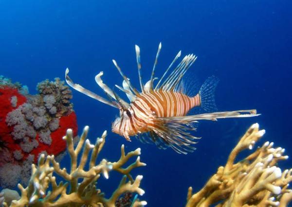 perierga.gr - 130 ξένα είδη ψαριών στις θάλασσές μας!