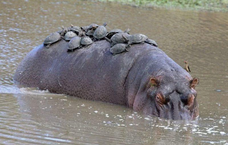 Perierga.gr - Ζώα που... βαριούνται να μετακινηθούν!