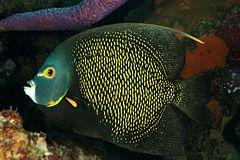 Pomacanthus-paru