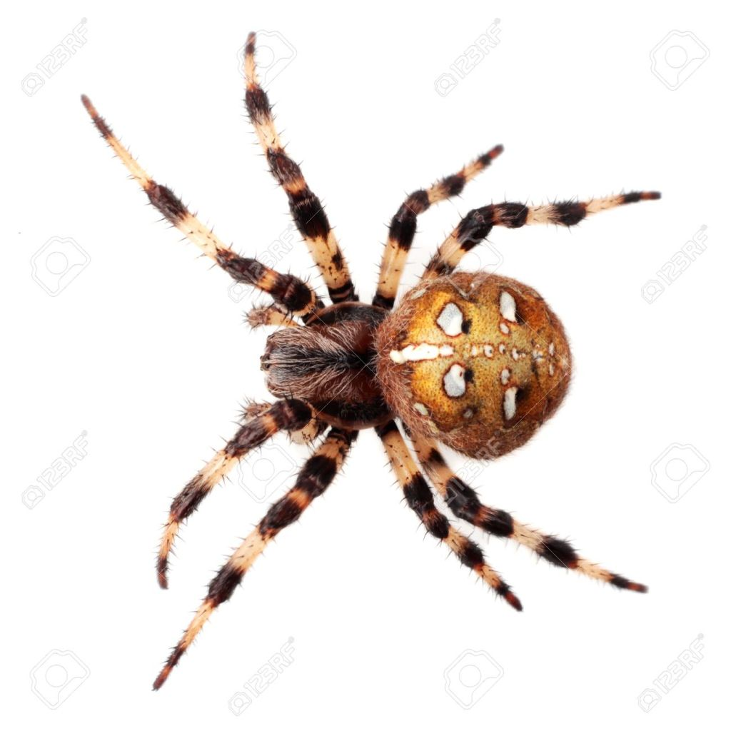 araneus-diadematus-arachnids-arthropods-cobwebs-zoology-glands