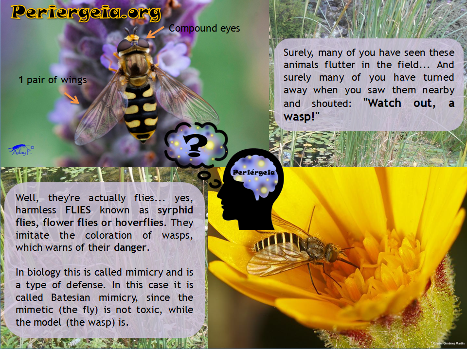 Syrphids-Hoverflies-Flower-Flies-Diptera-Hymenoptera-Wasps-Mimicry-Batesian-Biodiversity-Zoology