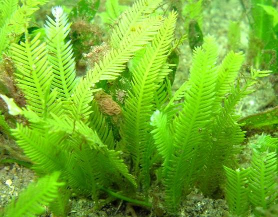 Caulerpa-taxifolia-killer-algae-fish-keeping-aquarium-Monaco-Mediterranean-sea-pathways-routes