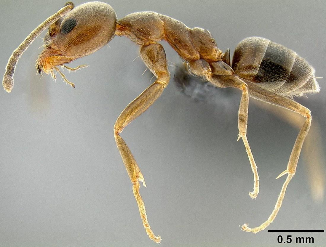 Linepithema-humile-hormiga-argentina-colapsos-poblacionales-dinamicas-poblaciones-invasores-especies-invasoras