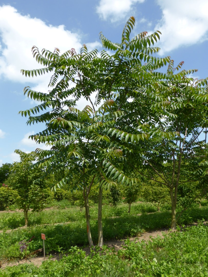 ailanthus_altissima_tree-of-heaven-China-plant-invasive-alien-species-exotic-introduction-pathways-deliberate-wind-propagation-anemochory