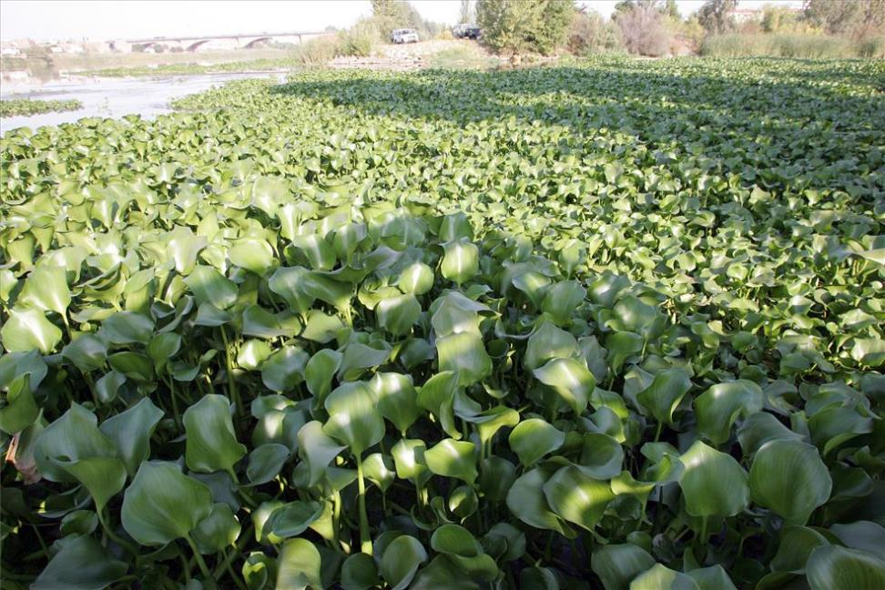 water-hyacinth-Guadiana-Eichhornia-crassipes-vegetative-reproduction-asexual