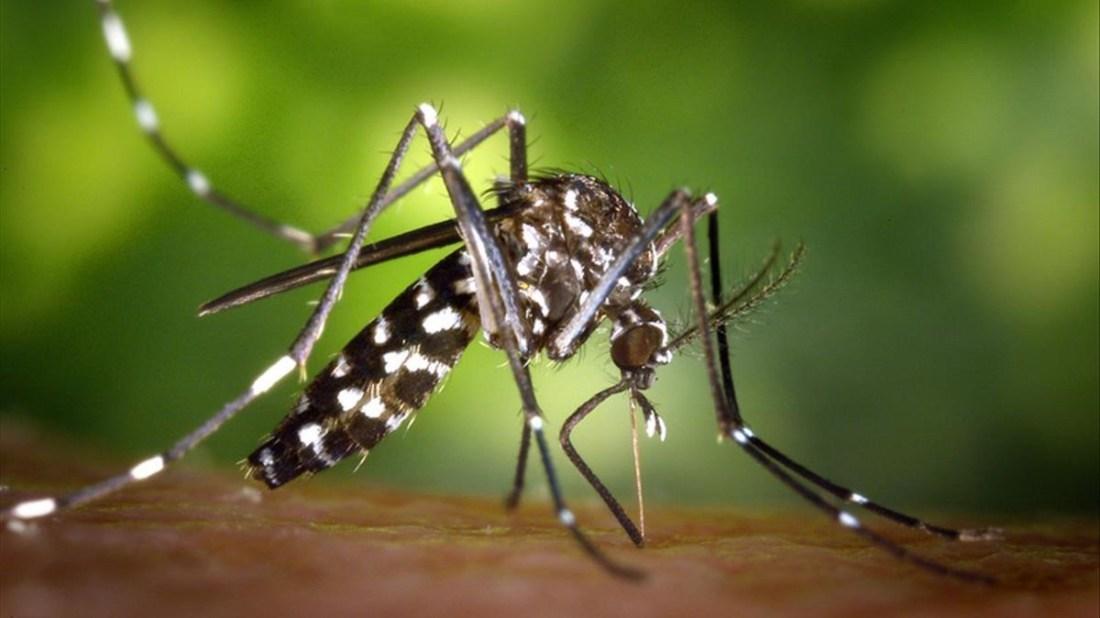 Mosquito-tigre-Aedes-albopictus-vector-enfermedades-chikungunya-zika-microcefalia-fiebre-Nilo-occidental-dengue-malaria-patologias-zoonosis