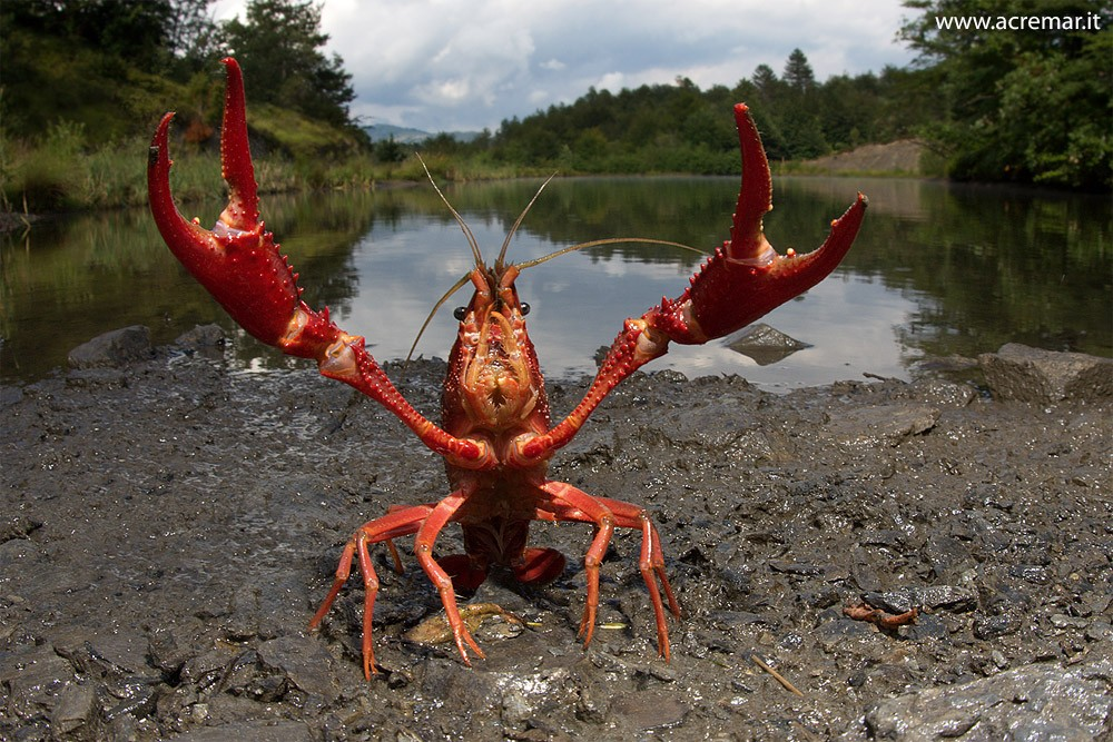 procambarus-clarkii-red-swamp-crayfish-aphanomyces-astaci-afanomycosis-fungus-fungi-pandemia-pathology-illness-biological-invasions