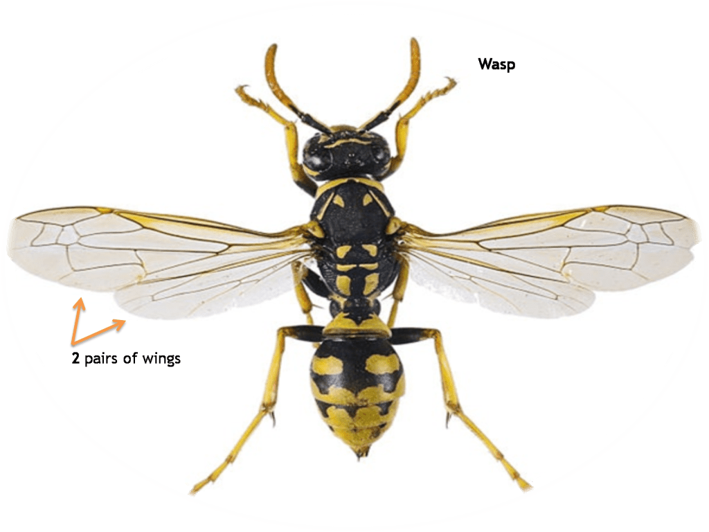 syrphid-batesian-mimicry-biology-zoology-insect-syrphidae-camuflage