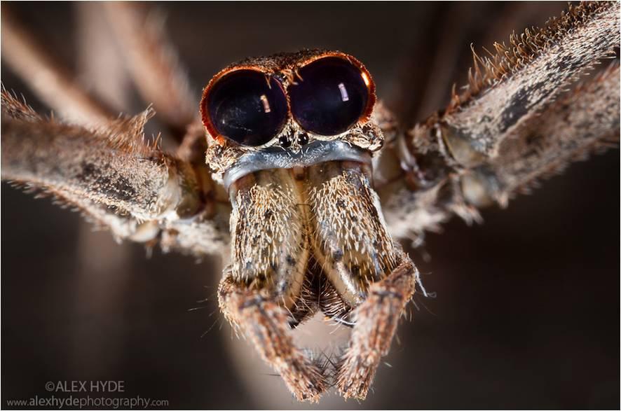 deinopis-arañas-cara-de-ogro-cazar-aracnidos-artropodos-animales-bichos-zoologia-telaraña