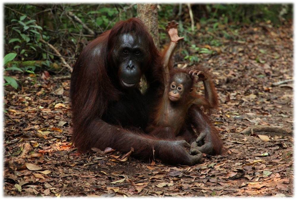 orangutan-primates-monkeys-pregnancy-reproduction-animals-ethology-behavior-offsprings