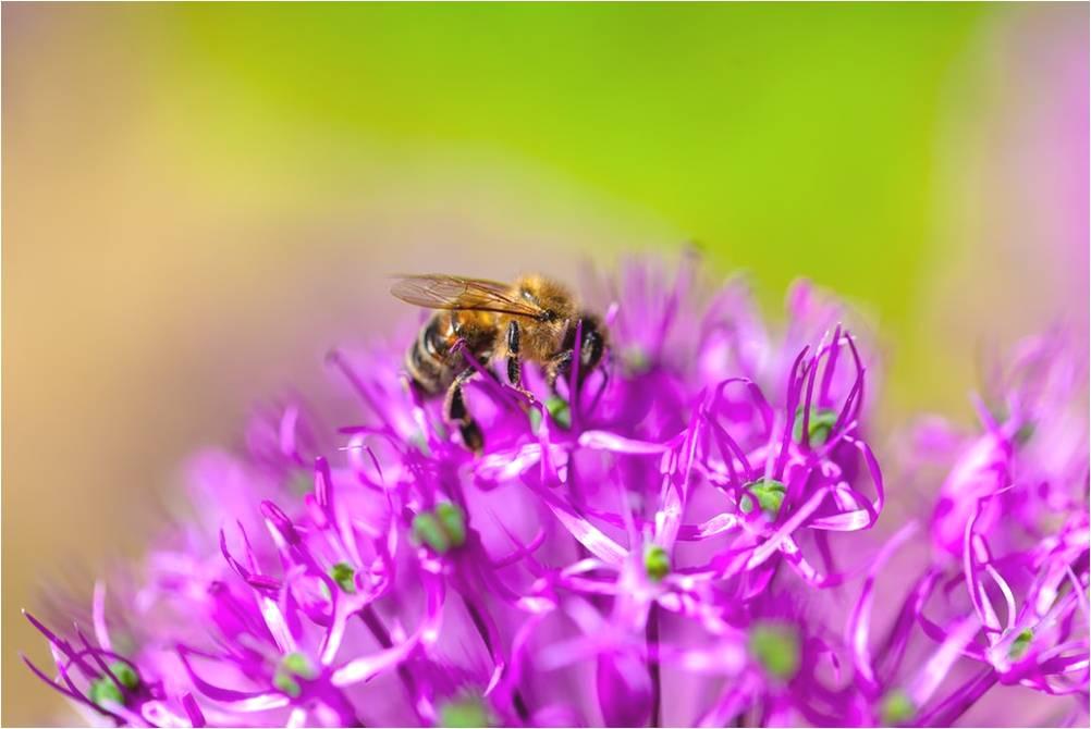 abejas-bichos-insectos-himenopteros-biologia-zoologia-animales-curiosidades-evisceracion-aguijon