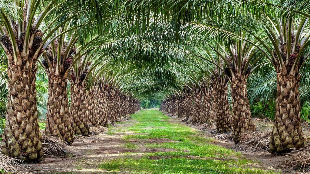 palm oil controversy-kernel oil-elaeis guineensis-environment-rainforest-biodiversity loss indonesia-malaysia-economy-production
