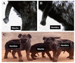 pene-hiena-macho-hembra