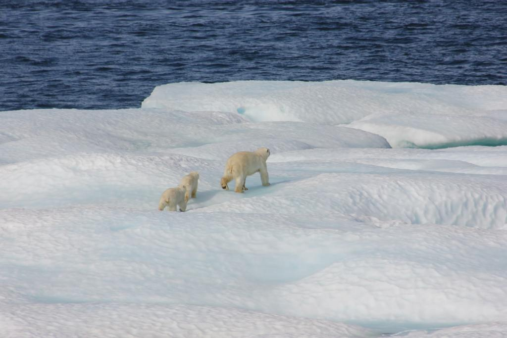 oso polar-artico-nieve-frio-pelo-capa limite-grosor-viento-frio-superficie-plumaje-pelaje-piloereccion-ptiloereccion-fisiologia-biologia