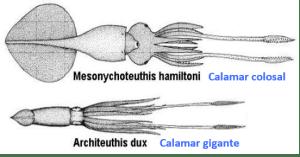 distribucion -calamar colosal-biodiversidad-kraken-mitologia-Mesonychoteuthis hamiltoni