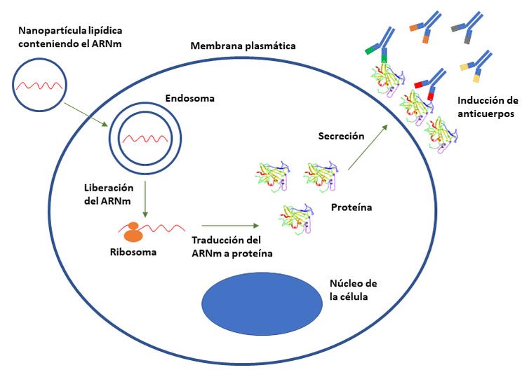 vacunas de ARNm-ARN mensajero-ADN-ADN recombinante-ARNm-mutaciones-vacunas