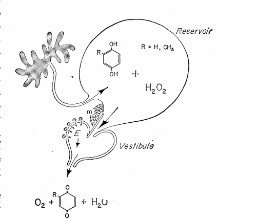 escarabajo escopetero - zoologia - brachinus - escarabajo - insecto - escarabajo bombardero - reaccion quimica - quimica - disparo irritante - biodiversidad - naturaleza - brachinus explosion