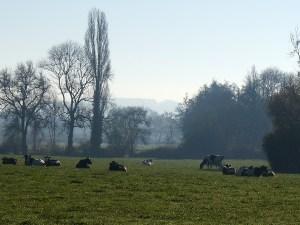 Les vaches Holstein dans une prairie du domaine de l'Hirondelle.