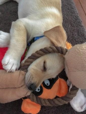 Gimli sleeping with toys