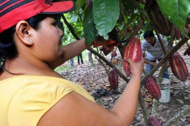 lanzan_cacao_mas_resistente_a_plagas