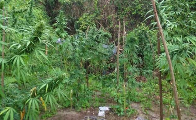 28104139Cultivo.Marihuana.Santa.Marta
