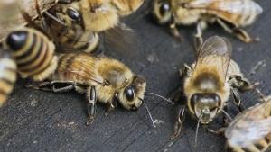 Algo extraño pasó con las abejas en California