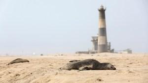 Encuentran al menos 7.000 focas muertas por causas desconocidas en las costas de Namibia