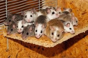 Universo 25: El Paraíso Artificial para Ratones que Acabó en Algo Aterrador