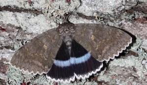 Encuentran una mariposa mutante en la zona de exclusión de Chernóbil