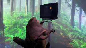 Neuralink, la empresa de Elon Musk, muestra a un mono jugando a un videojuego con la mente mediante un chip cerebral