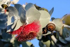 Los 10 principales beneficios para la salud del eucalipto