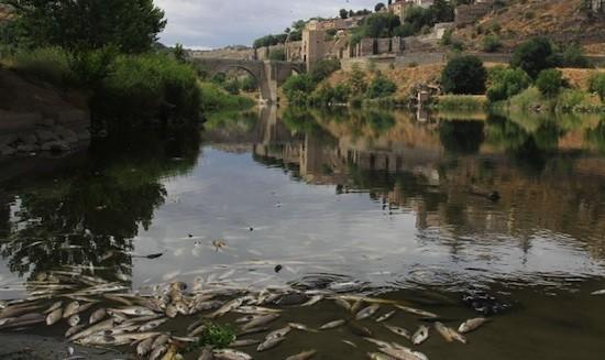 Peces muertos en el río Tajo a su paso por Toledo: Foto: Davis Sanz Frías