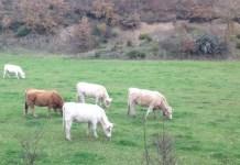 rjclaudin: Vacas pastando en la montaña palentina