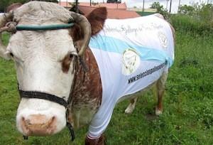 Esmudiense, capitana de la selección gallega de vacas felices