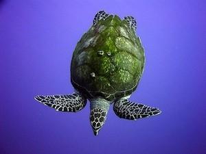 Tortuga-carey-HKaddachi-Oceana